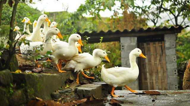 Ducks walking down stairs